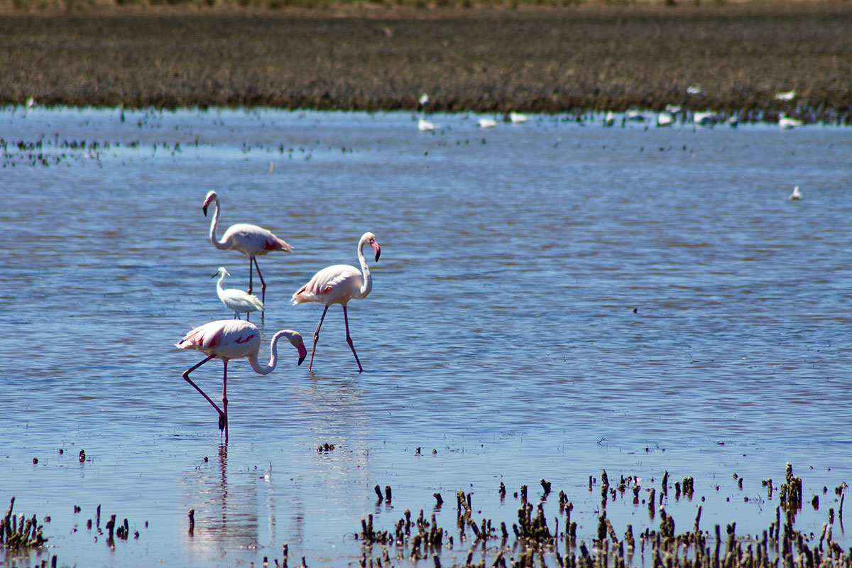 Wilde Rosa Flamingos in der Camargue