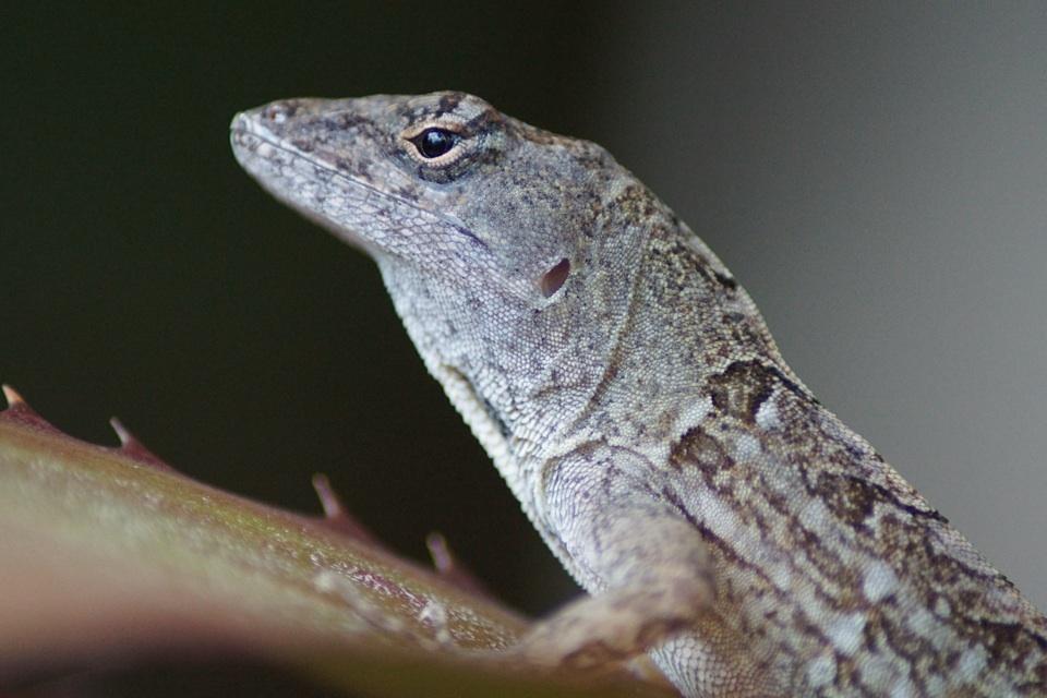 Anolis-Leguan