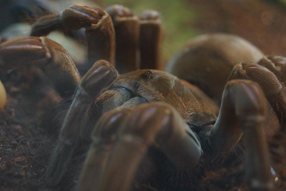 Birdeating Spider in der Nahaufnahme
