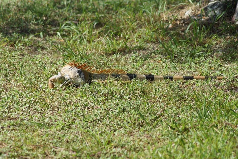 Ein Leguan an der Tourist Info