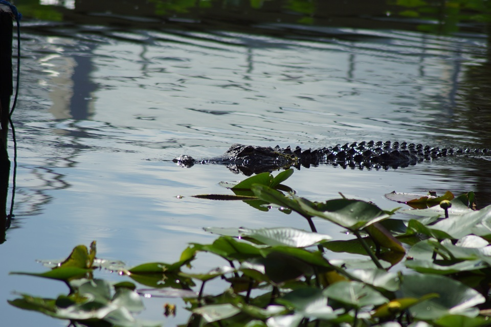 Freies Krokodil in den Everglades
