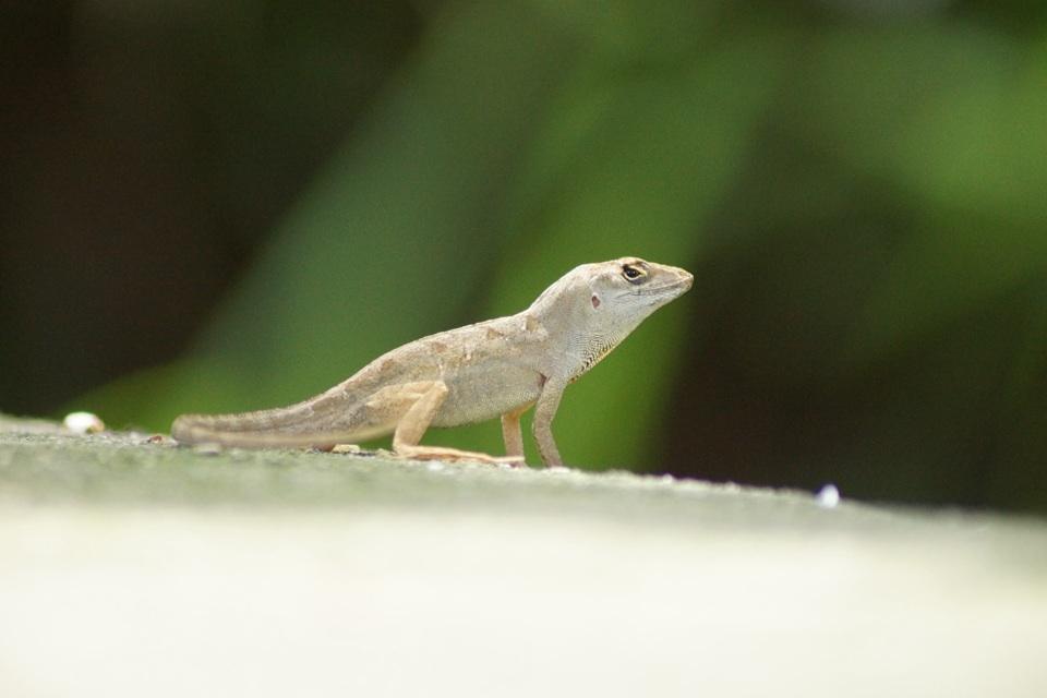 Echse n den Everglades