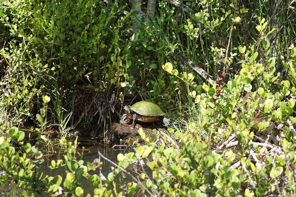 Schildkröte in den Everglades