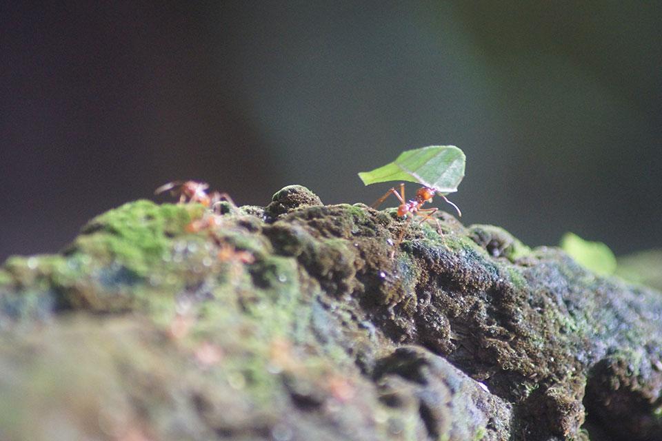 Blattschneideameisen