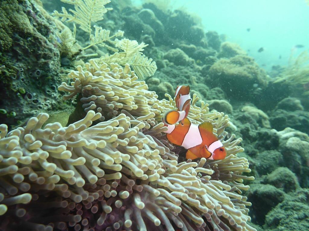 Clounsfische