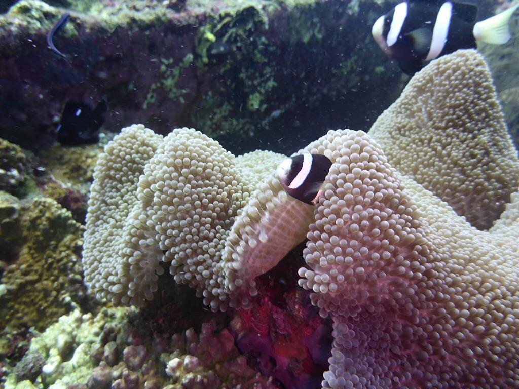 Clounsfisch