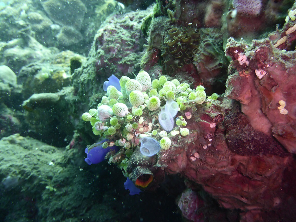Koralle