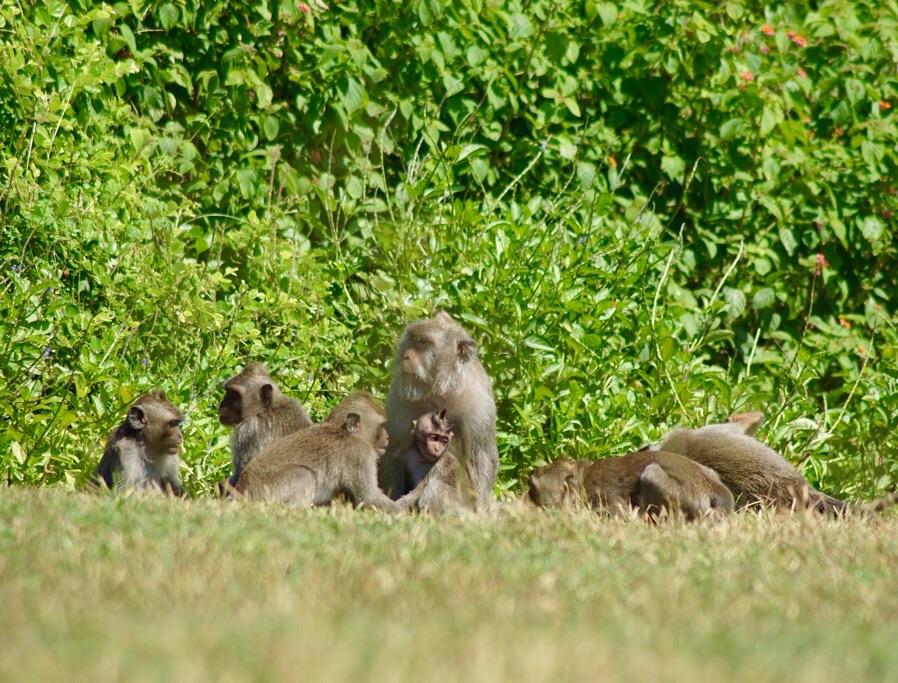 Affenbande am Tempel