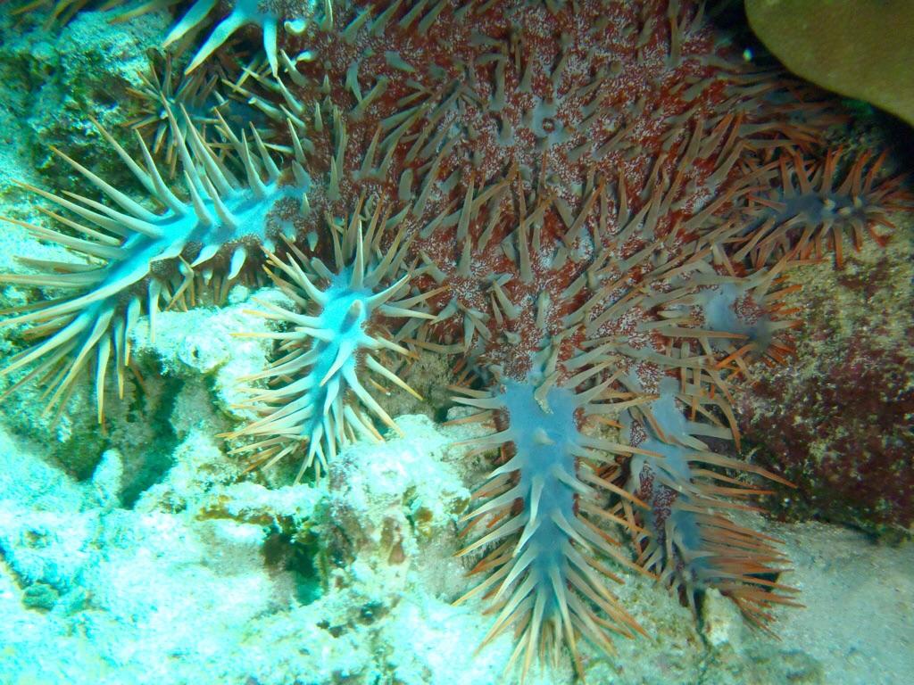 Ich glaube das ist ein Dornenseestern der Korallen frißt