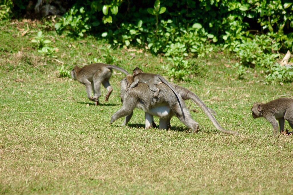 Wilde Affen am Tempel