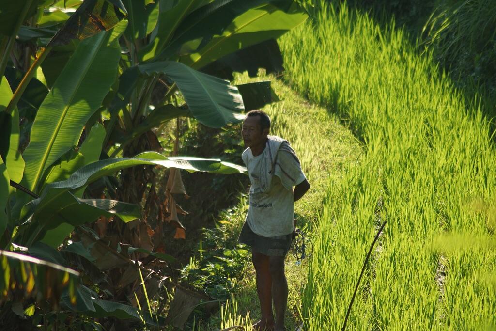 Farmer im Reisfeld