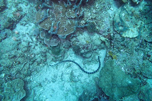 Banded Seasnake (hoch giftig)