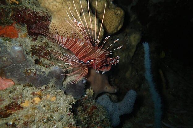 Rotfeuerfisch (Schönere Fotos in Ägypten Posts)