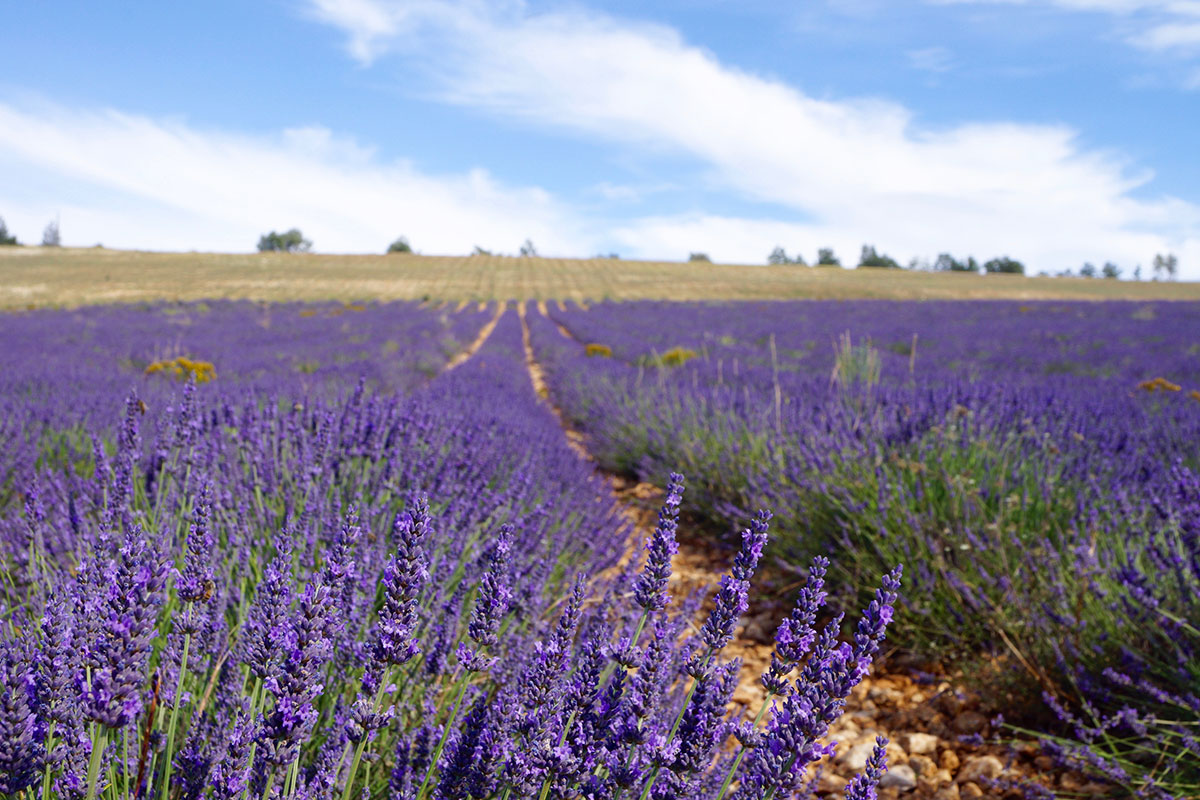 Wilder Lavendel bei Sault