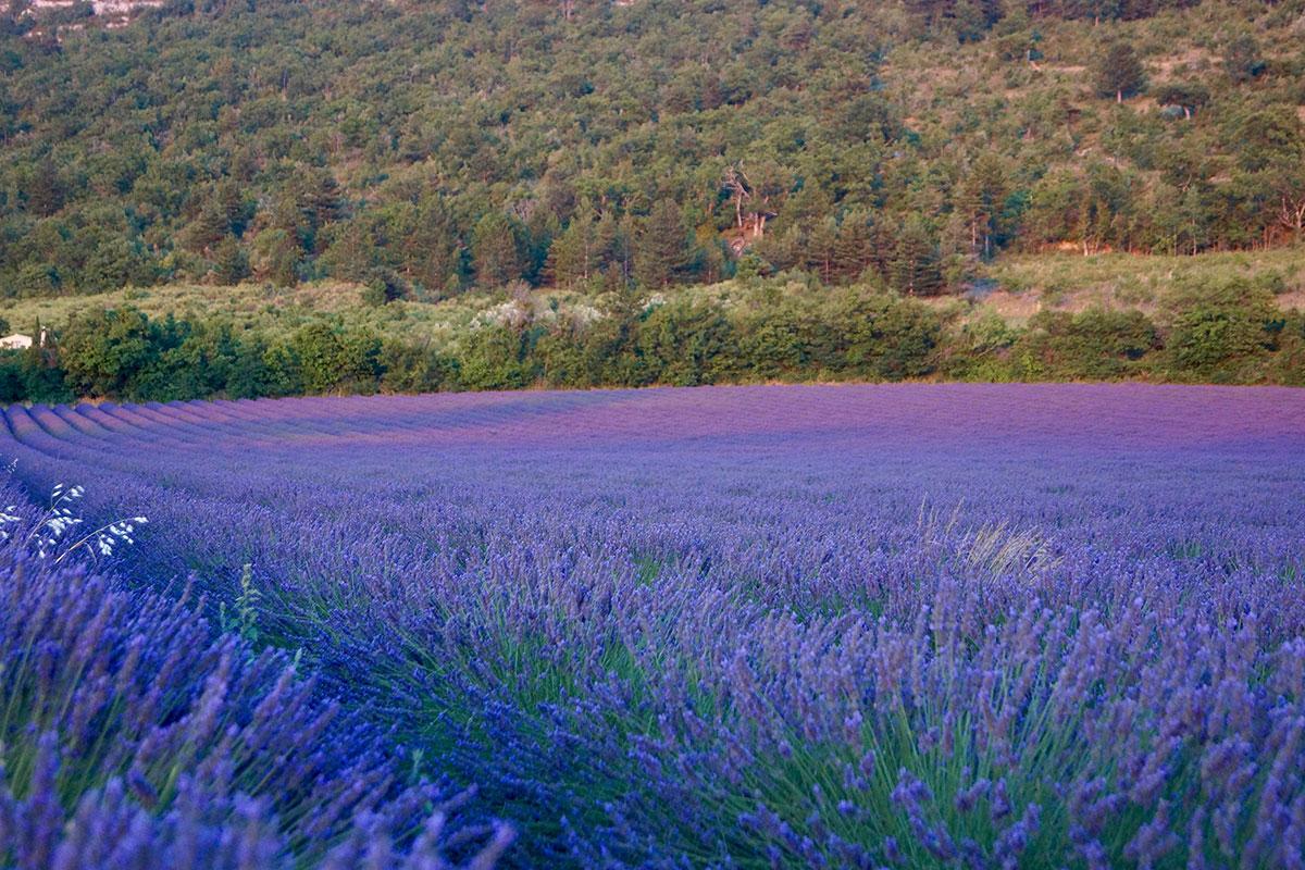 Lavendel in der Abenddämmerung