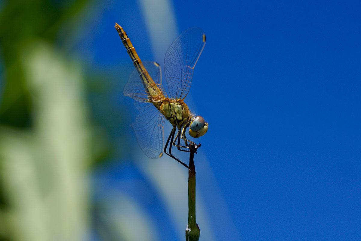 Libelle in der Camargue
