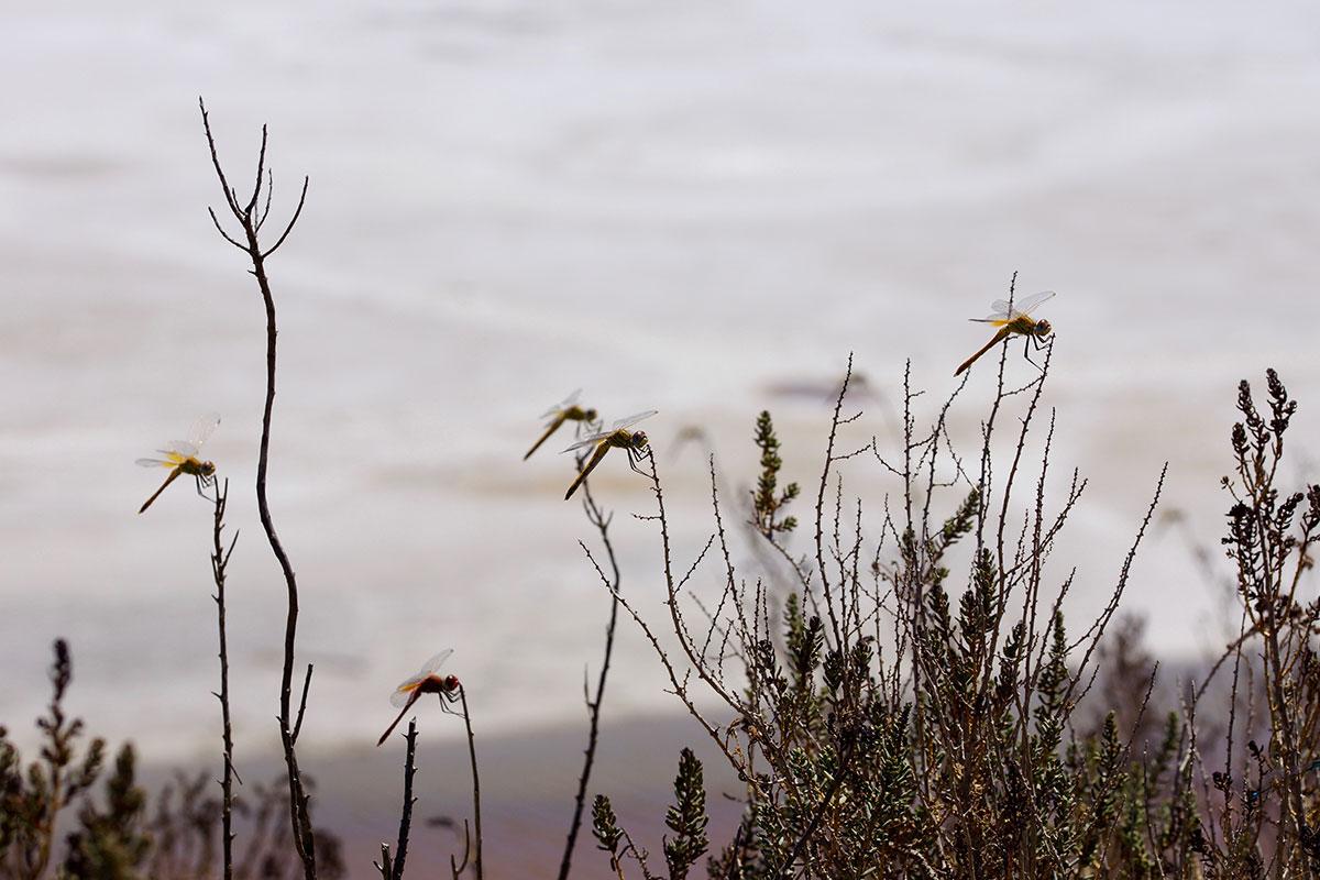 Libellen in der Camargue